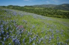 2004%20-%20Carmel%20Valley%20Road%20Lupine2%20-EPV0032