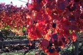 Red vines-72dpi